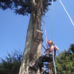 Jamie getting rigging ready for final cuts on large Cypress