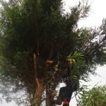 Removing Leylandii crown stems