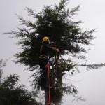 Removing Leylandii crown