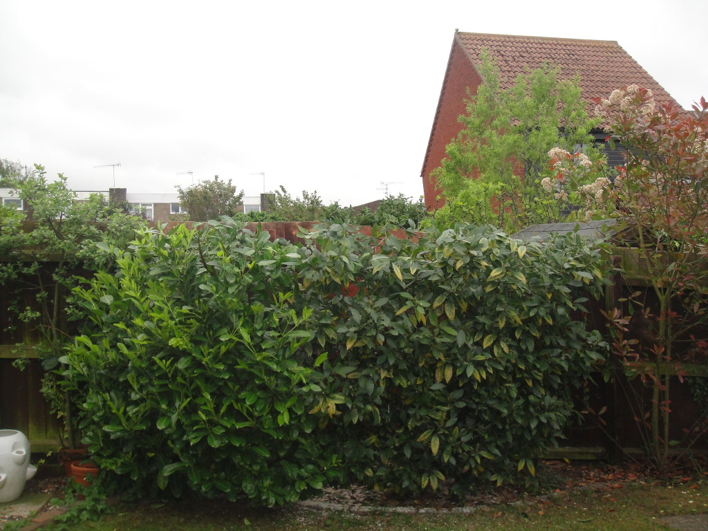 AFTER - Bay Tree Now A Tidy Fence High Bush - May '14