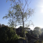 1.BEFORE - Silver Birch In Poor Shape With Dead Branches - May '14