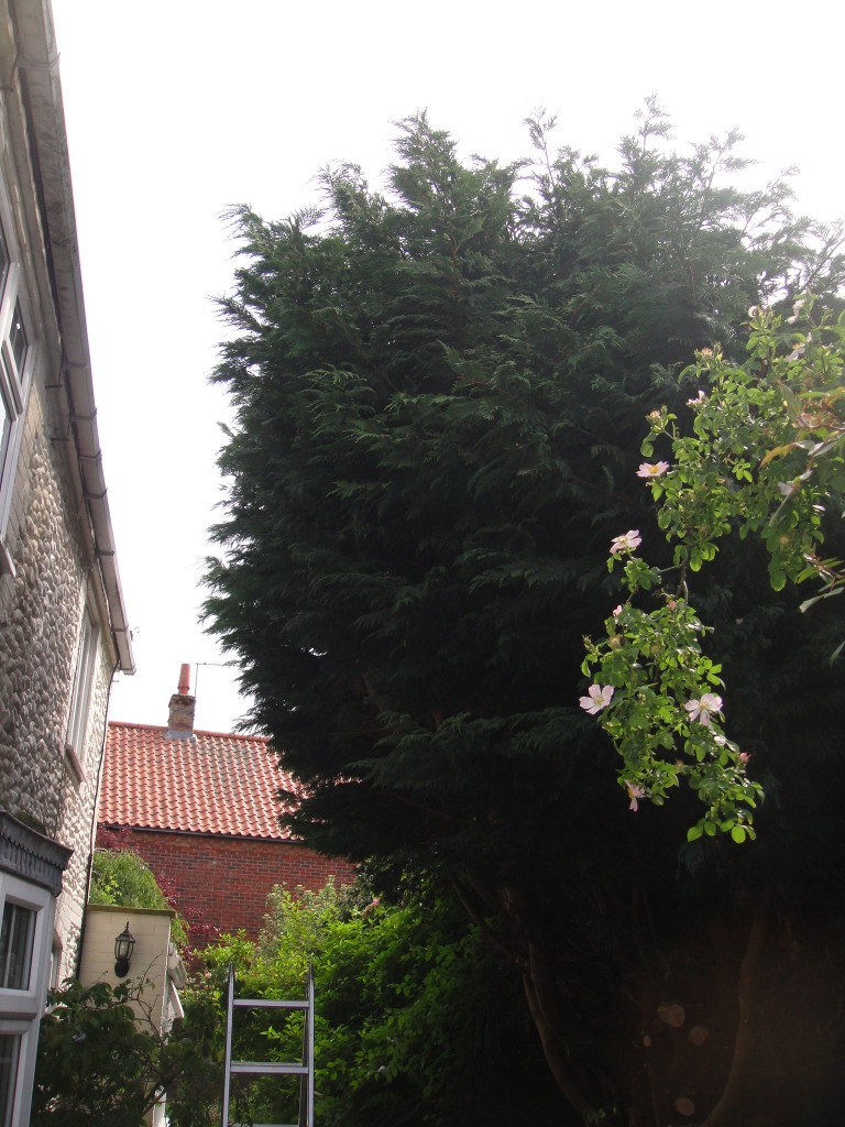 AFTER - Large Leylandii which has been lifted & pruned back away from the house - May '14