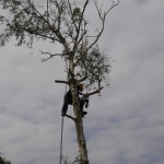 Removing crown branches from a Silver Birch