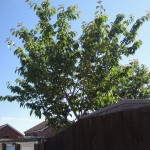 Small Cherry Trees in need of a prune