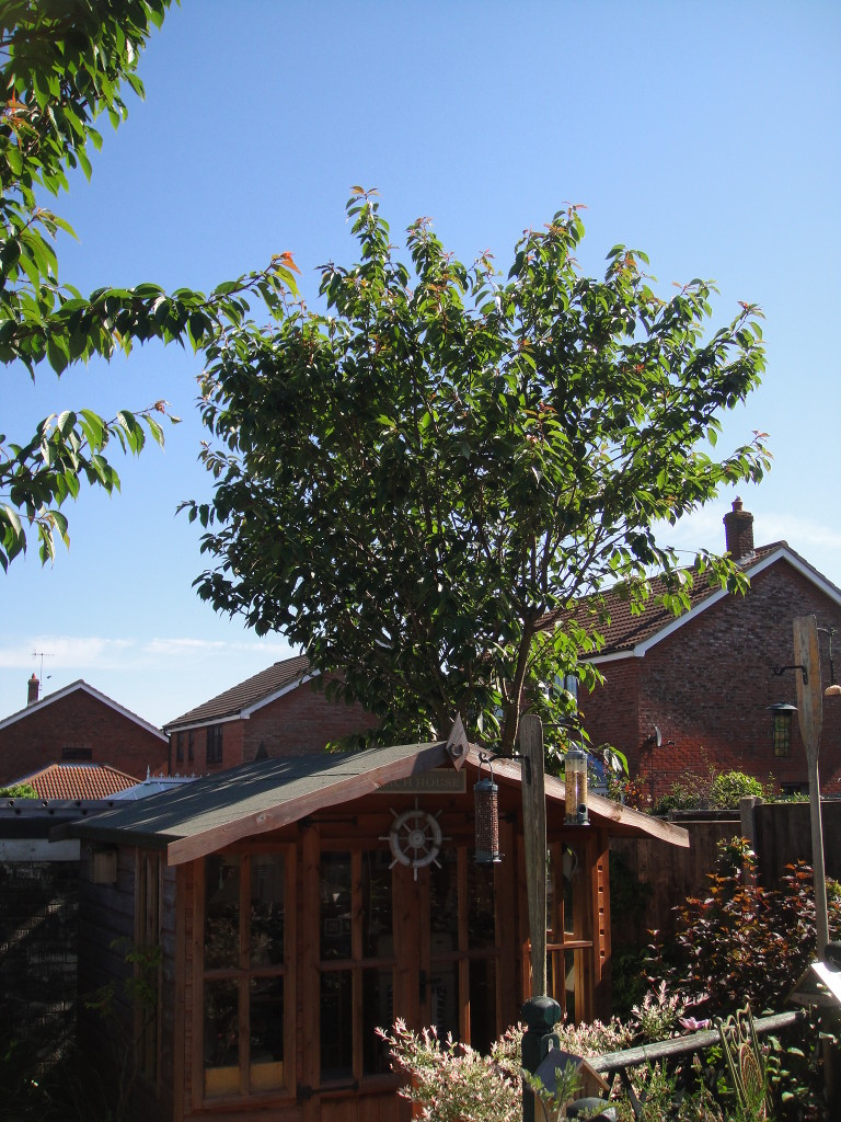 BEFORE - Cherry Tree with branches spreading over summer house & neighbours - June '14