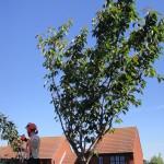 Jamie starting to prune small Cherry Tree