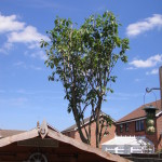 Cherry Tree after full reduction
