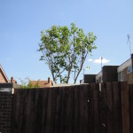 Cherry Tree after crown reduction