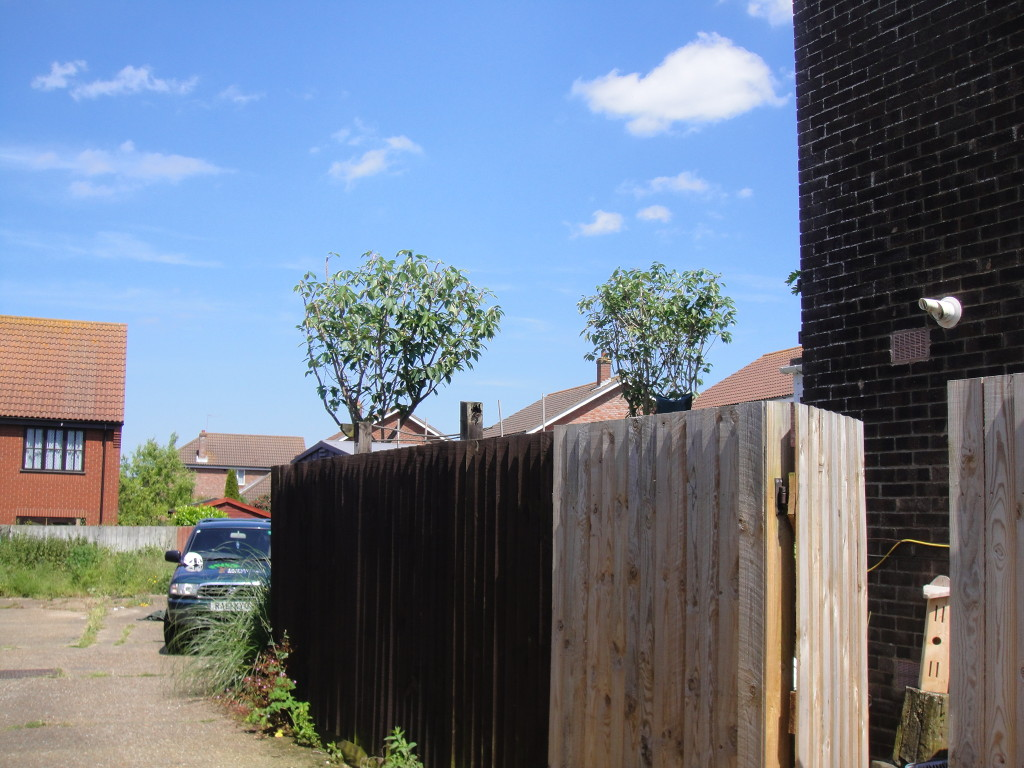 2 Cherry Trees after crown reductions