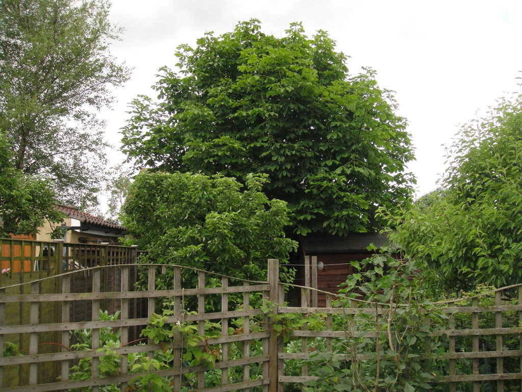 1.BEFORE - Small Horse Chestnut In Leaf Ready For A Crown Reduction & Lift - Aug '14