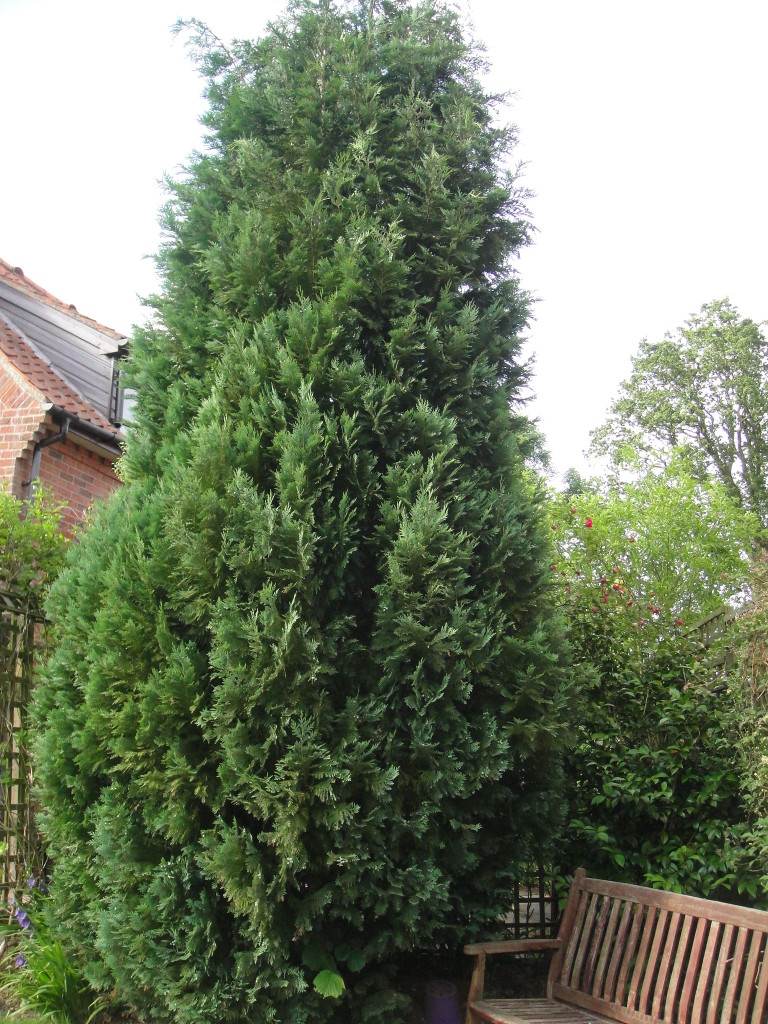 1.BEFORE - Garden Cypress Tree To Be Dismantled - June '14