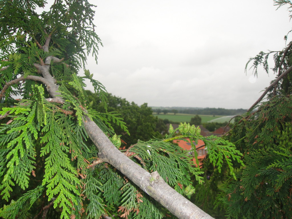 Looking out from a large Leylandii