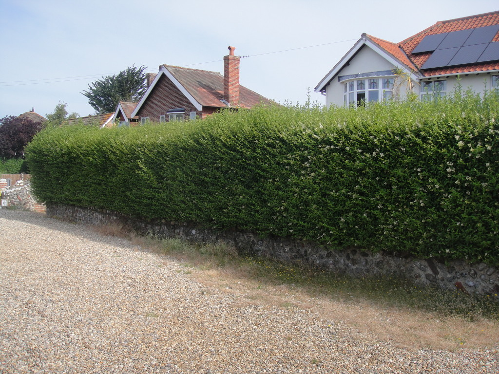 BEFORE - Privet Hedge Overgrown - July '14