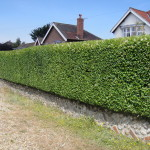 AFTER - Privet Hedge Trimmed Into Shape - July '14