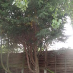 1.BEFORE - Medium Leylandii Tree To Be Dismantled - Aug '14