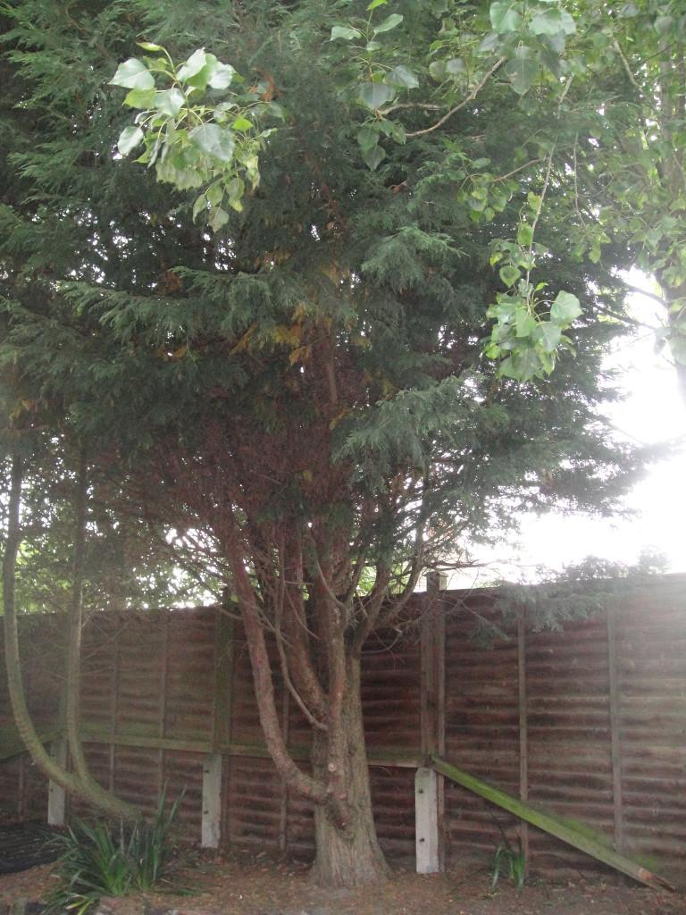 1.BEFORE - Medium Leylandii Tree To Be Dismantled - Aug '14