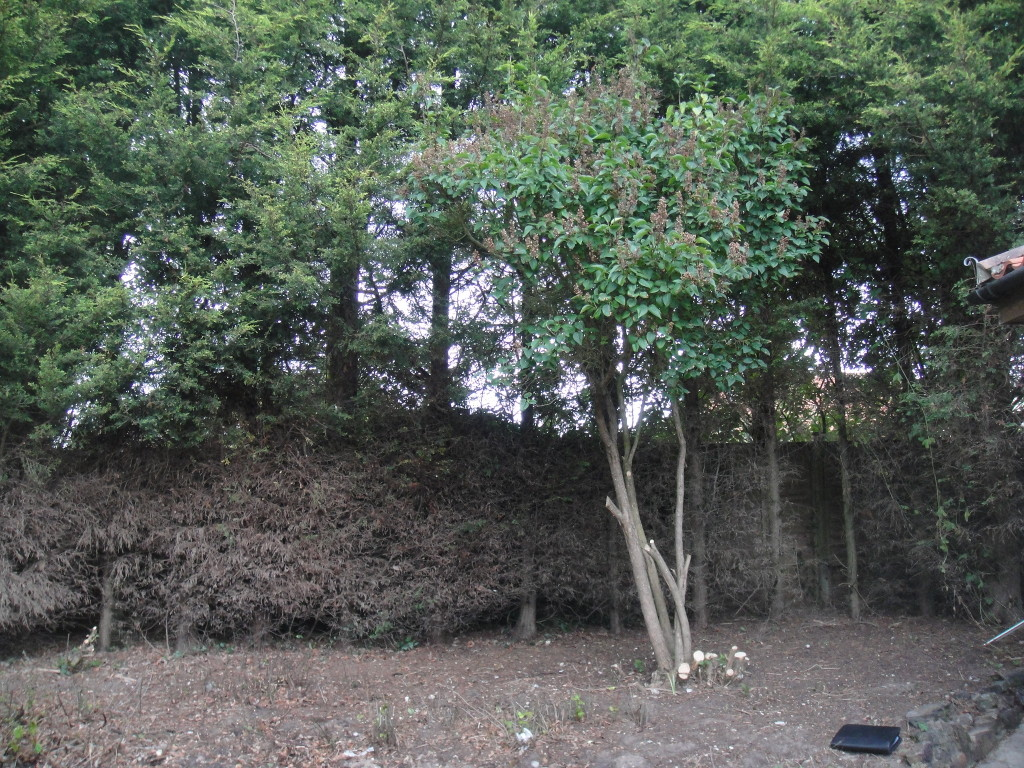 1.BEFORE - Old Leylandii Hedge Which Has Died And Trees Have Grown Through It - Sept '14