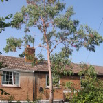 1.BEFORE - Thin Eucalyptus Tree Leaning Towards Cottage - Aug '14