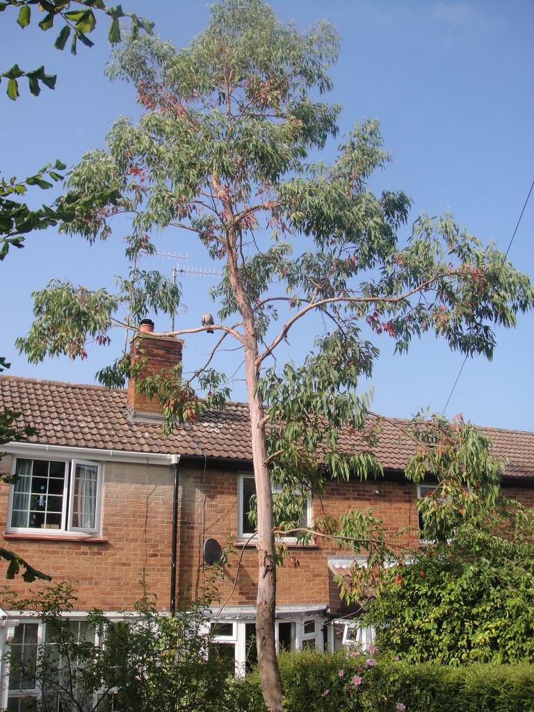 1.BEFORE - Thin Eucalyptus Tree Leaning Towards Cottage - Aug '14