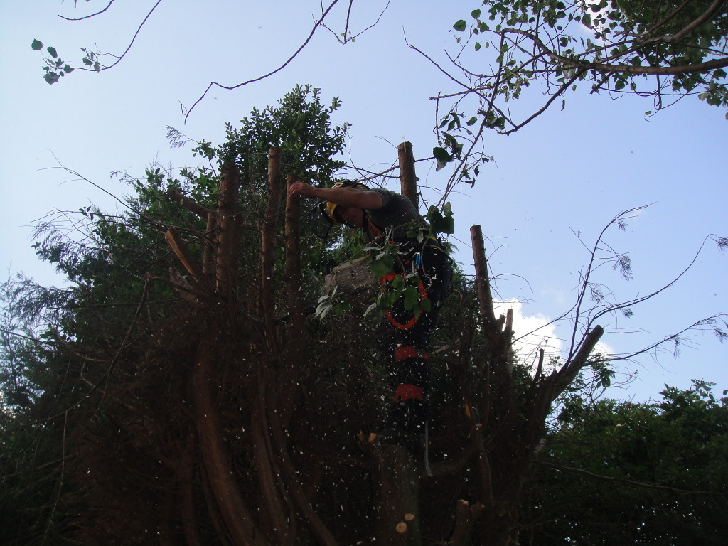 Removing Stems With Tree Saw