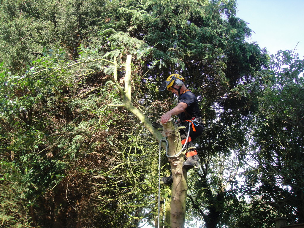 Dismantling A Small Holly Tree