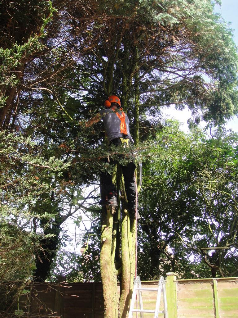 Jamie Climbing Into Leylandii Tree