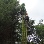 Jamie Removing High Stems From A Leylandii