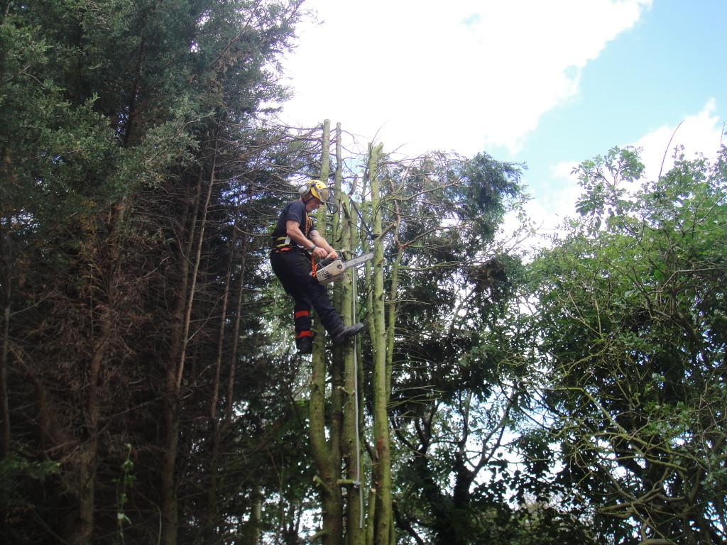 Using Tree Saw On Leylandii Stems