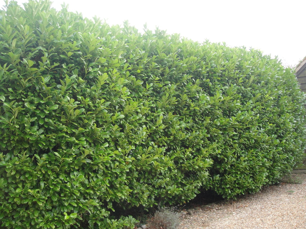 BEFORE - Laurel Hedge In Need Of A Trim & Height Reduction - Sept '14