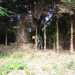 Jamie cutting lower brash off Leylandii Tree