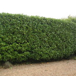 AFTER - Laurel Hedge Looking Neater With A Flat Even Top - Sept'14