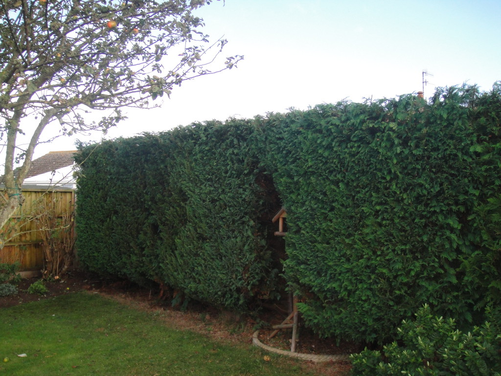 AFTER - Leylandii Hedge Looking Good Trimmed And With A Flat Even Top - Oct '14