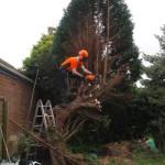 Jamie Dismantling A Garden Spruce