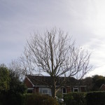 AFTER - Small Tulip Tree With Good Shape After Approx 15% Reduction - Oct '14