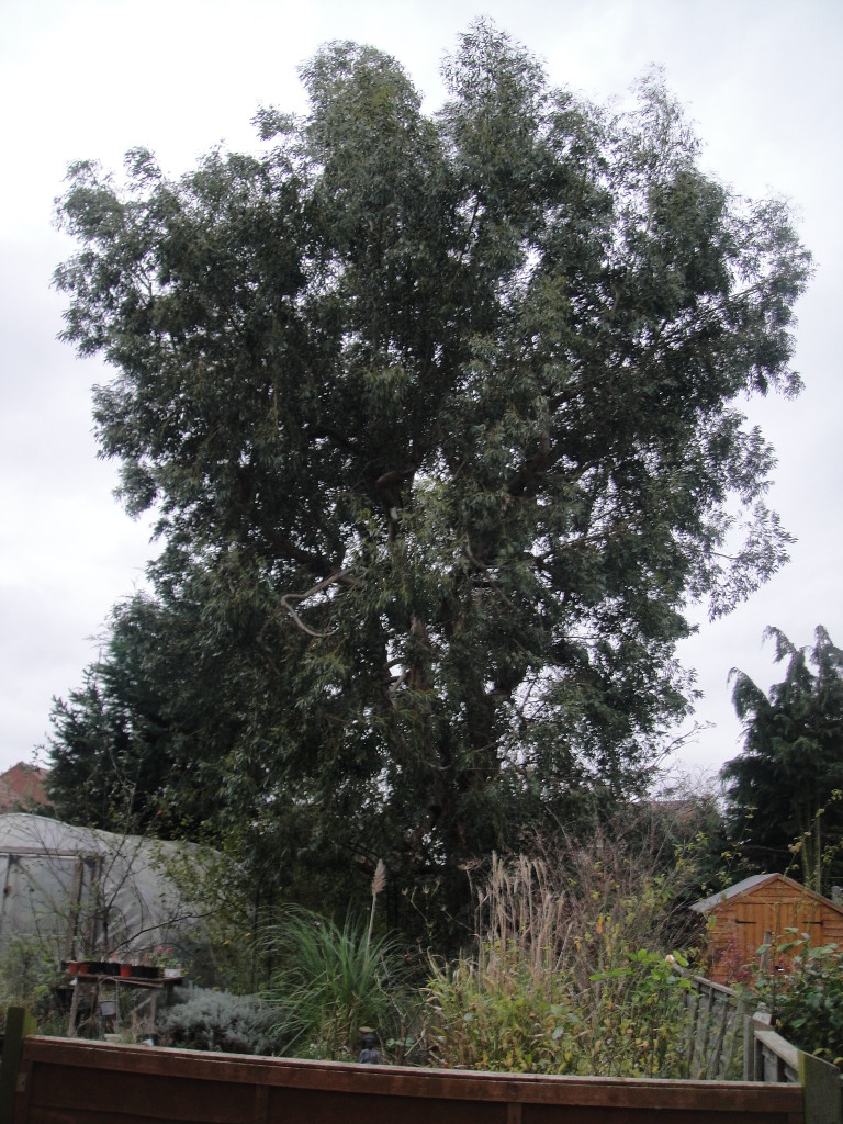 BEFORE - Large Eucalyptus Tree Requiring A Height Reduction - Dec '14
