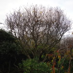 3. Magnolia left with a good shape after an all round reduction - Nov '14