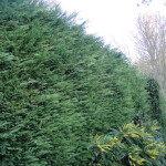BEFORE - Large Leylandii Hedge in need of a good trim - Dec '14