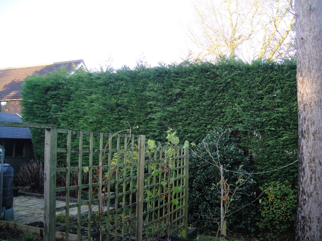 BEFORE - Large/Tall Leylandii Hedge needing an all round trim - Dec '14