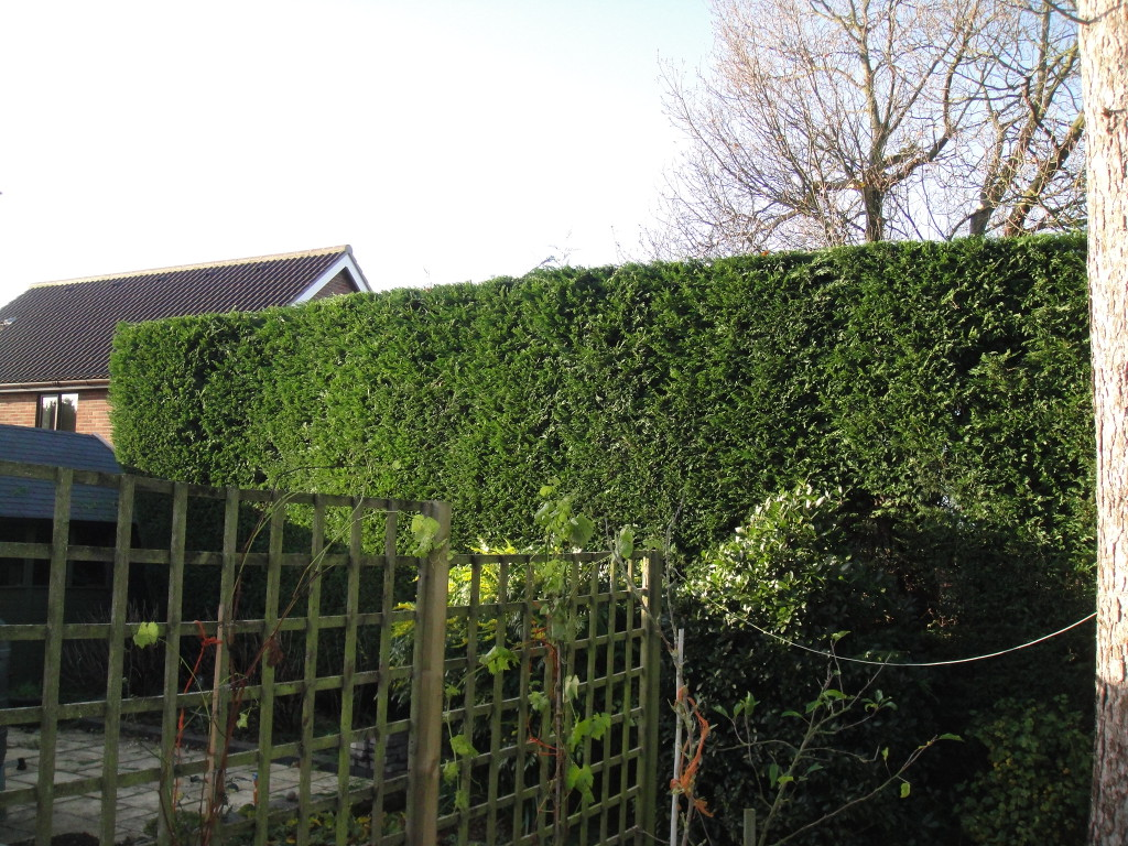 AFTER - Large/Tall Leylandii Hedge now looking tidy with a flat top after a good trim - Dec '14