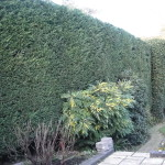 AFTER - Large Leylandii Hedge looking neat & with a flat top after trim - Dec '14
