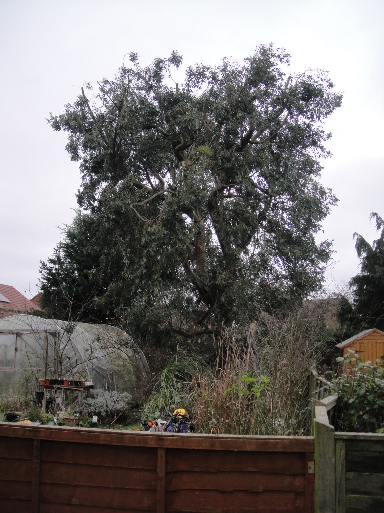 AFTER - Large Eucalyptus Tree With Crown Height Reduced By Approx 30% - Dec '14
