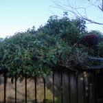 Jamie Starting To Cut Through The Ivy