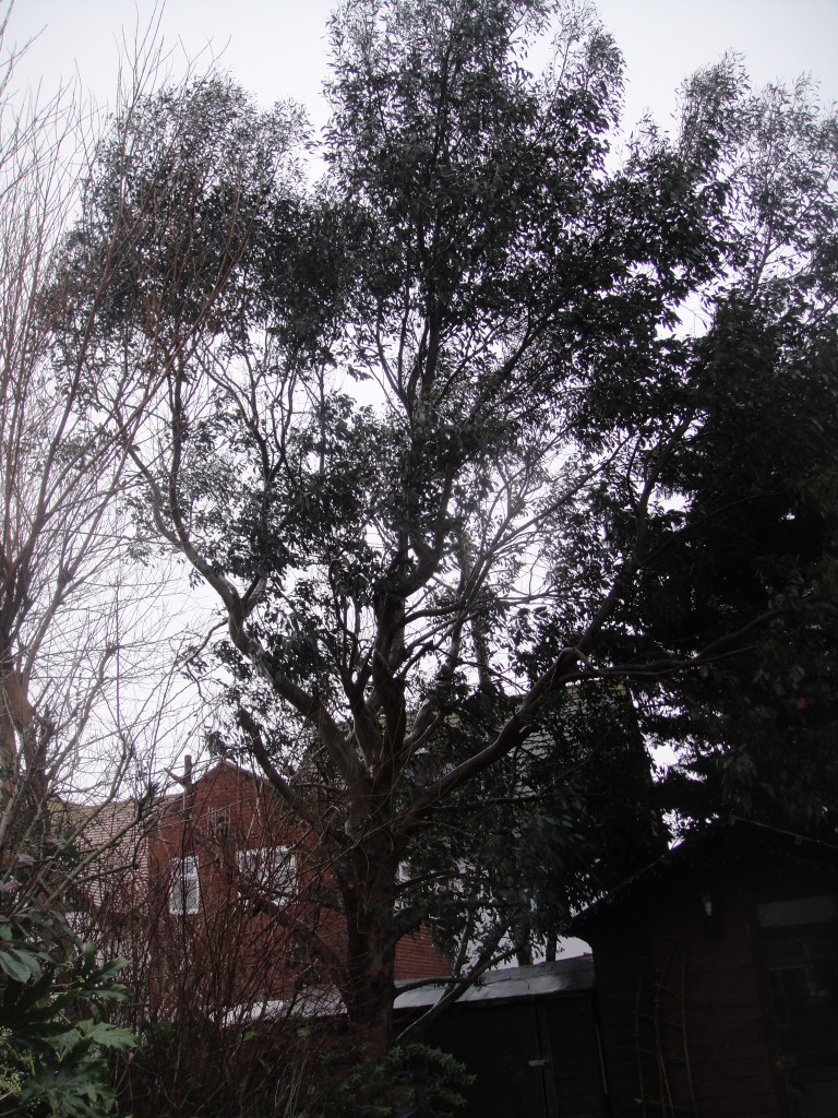 BEFORE - Eucalyptus Tree in need of a height and crown reduction - Feb '15