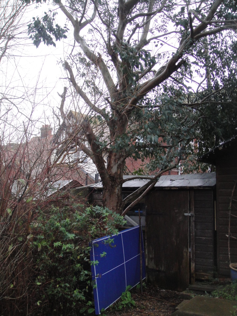 BEFORE - Eucalyptus Tree with lots of poorly cut lower branches - Feb '15