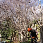 Jamie cutting down one of the Beech Trees