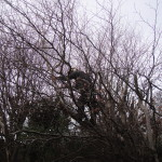 Cutting branches back on a medium Beech Tree