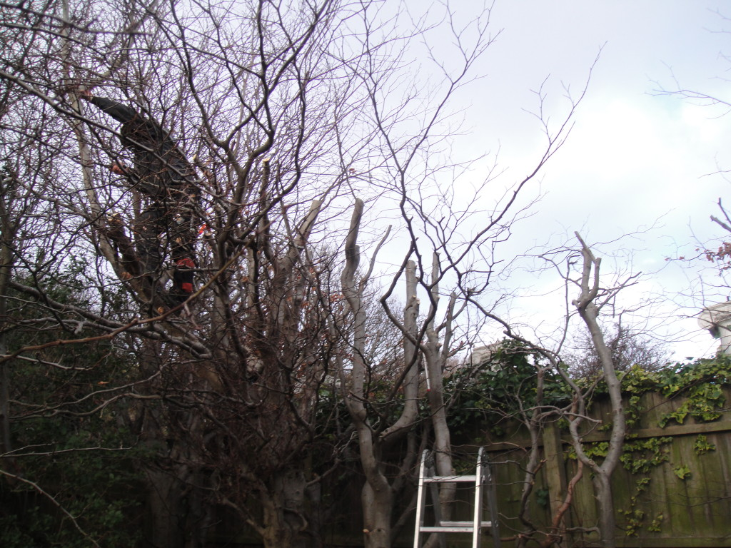 Topping medium Beech Tree back to hedge height