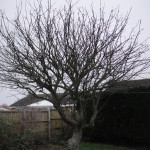BEFORE - Mature Apple Tree needing a good crown reduction - Feb '15