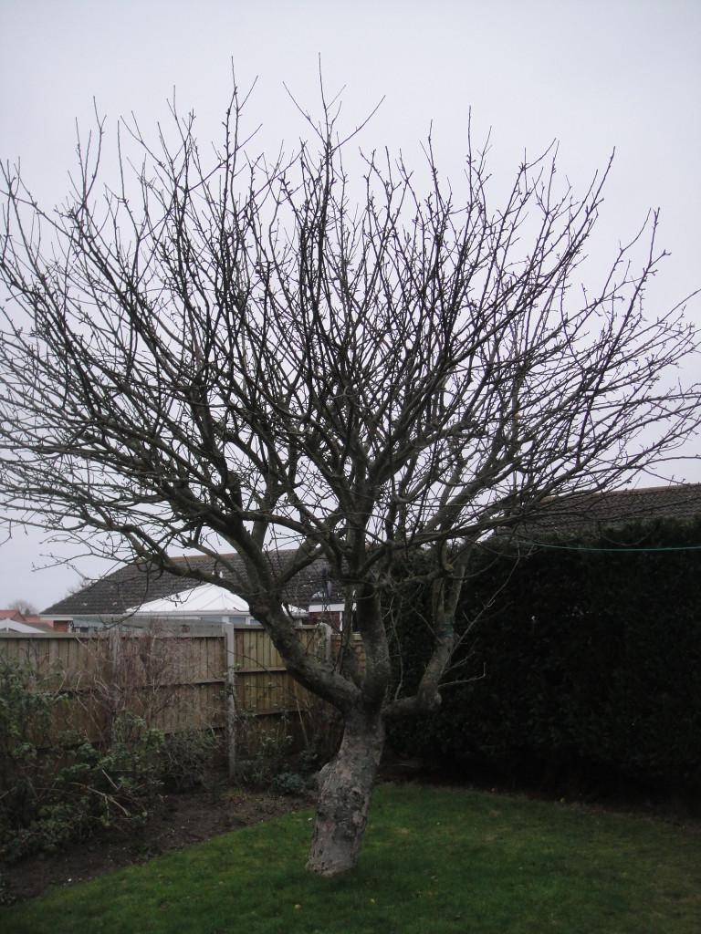 BEFORE - Mature Apple Tree needing a good crown reduction - Feb '15
