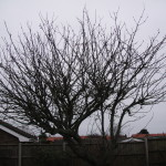 BEFORE - Mature Apple Tree in need of a crown reduction - Feb '15